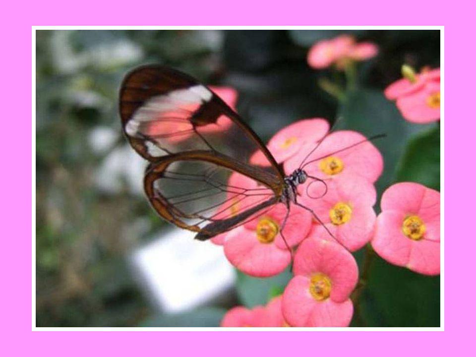On le retrouve dans les forêts humides de l Amérique centrale (Costa Rica, Panama, Équateur, Venezuela). Pour les écologistes, sa présence dans ces li