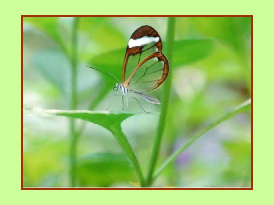 Ces magnifiques papillons sont des Greta oto. Le nom commun en anglais est Glasswing (ailes de verre) tandis quen espagnol on le nomme Espejitos (peti