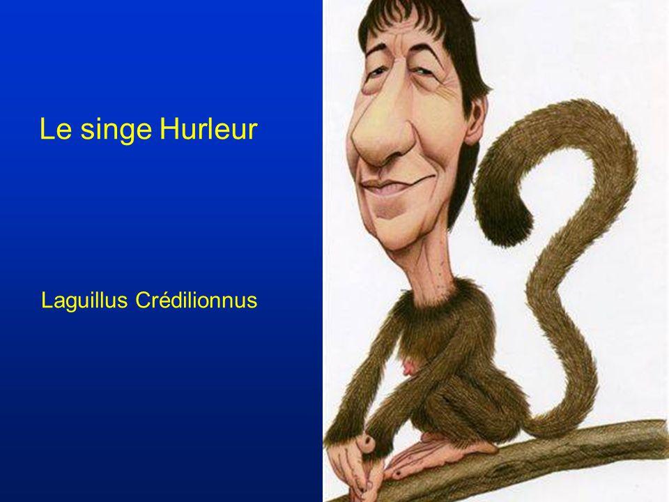 Le singe Hurleur Laguillus Crédilionnus