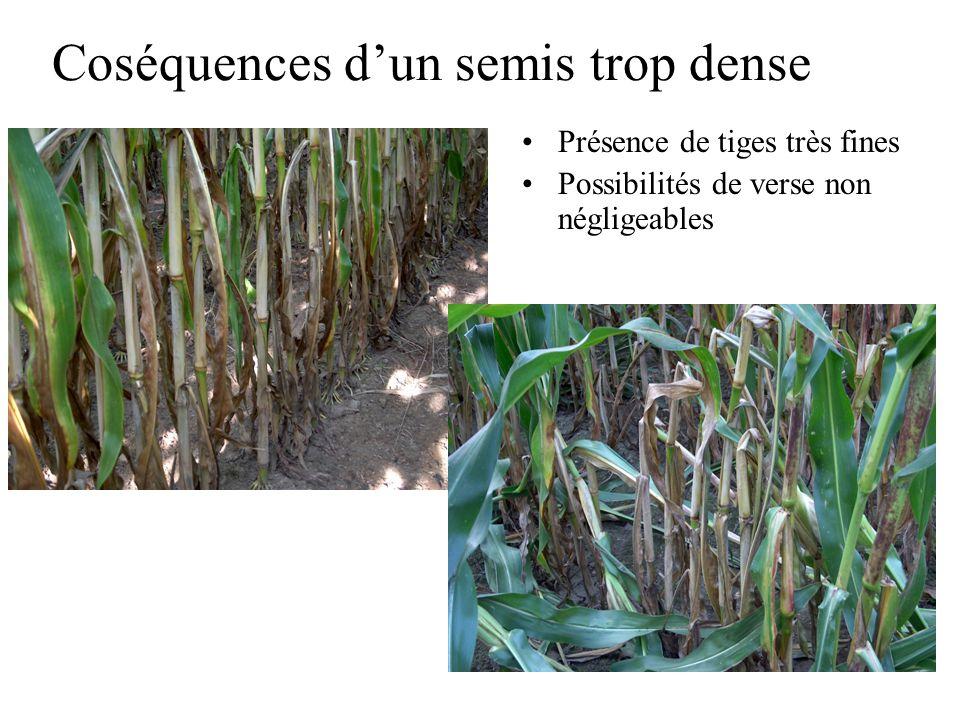 Coséquences dun semis trop dense Présence de tiges très fines Possibilités de verse non négligeables
