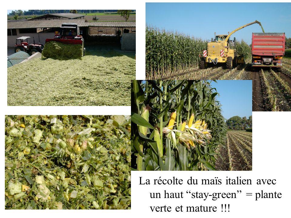 La récolte du maïs italien avec un haut stay-green = plante verte et mature !!!