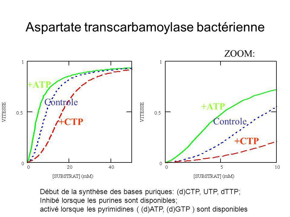 Aspartate transcarbamoylase bactérienne Début de la synthèse des bases puriques: (d)CTP, UTP, dTTP; Inhibé lorsque les purines sont disponibles; activ