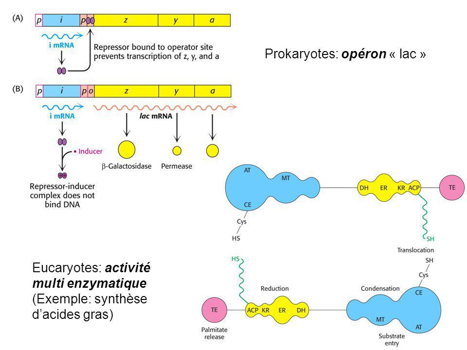 Prokaryotes: opéron « lac » Eucaryotes: activité multi enzymatique (Exemple: synthèse dacides gras)
