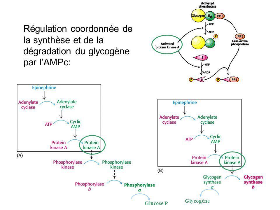 Régulation coordonnée de la synthèse et de la dégradation du glycogène par lAMPc: Glycogène Glucose P