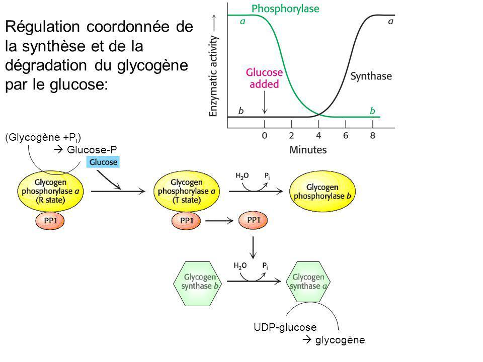 (Glycogène +P i ) Glucose-P UDP-glucose glycogène Régulation coordonnée de la synthèse et de la dégradation du glycogène par le glucose: