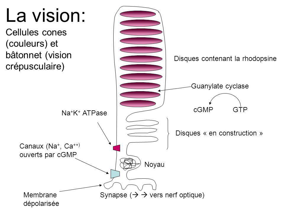 Disques contenant la rhodopsine Disques « en construction » Noyau Synapse ( vers nerf optique) Canaux (Na +, Ca ++) ouverts par cGMP Guanylate cyclase