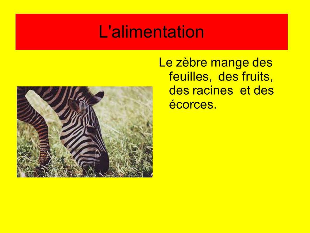 L'alimentation Le zèbre mange des feuilles, des fruits, des racines et des écorces.