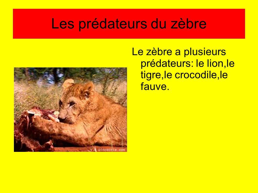 Les prédateurs du zèbre Le zèbre a plusieurs prédateurs: le lion,le tigre,le crocodile,le fauve.