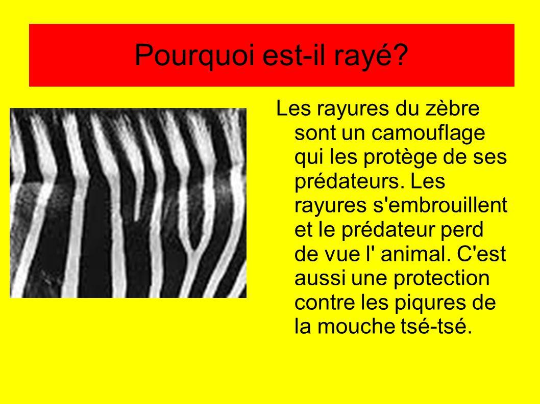 Pourquoi est-il rayé? Les rayures du zèbre sont un camouflage qui les protège de ses prédateurs. Les rayures s'embrouillent et le prédateur perd de vu