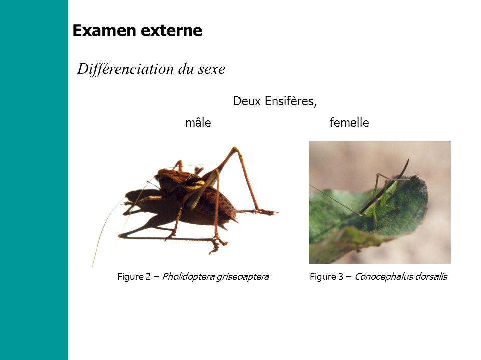 Examen externe Différenciation du sexe Deux Ensifères, mâle femelle Figure 2 – Pholidoptera griseoapteraFigure 3 – Conocephalus dorsalis