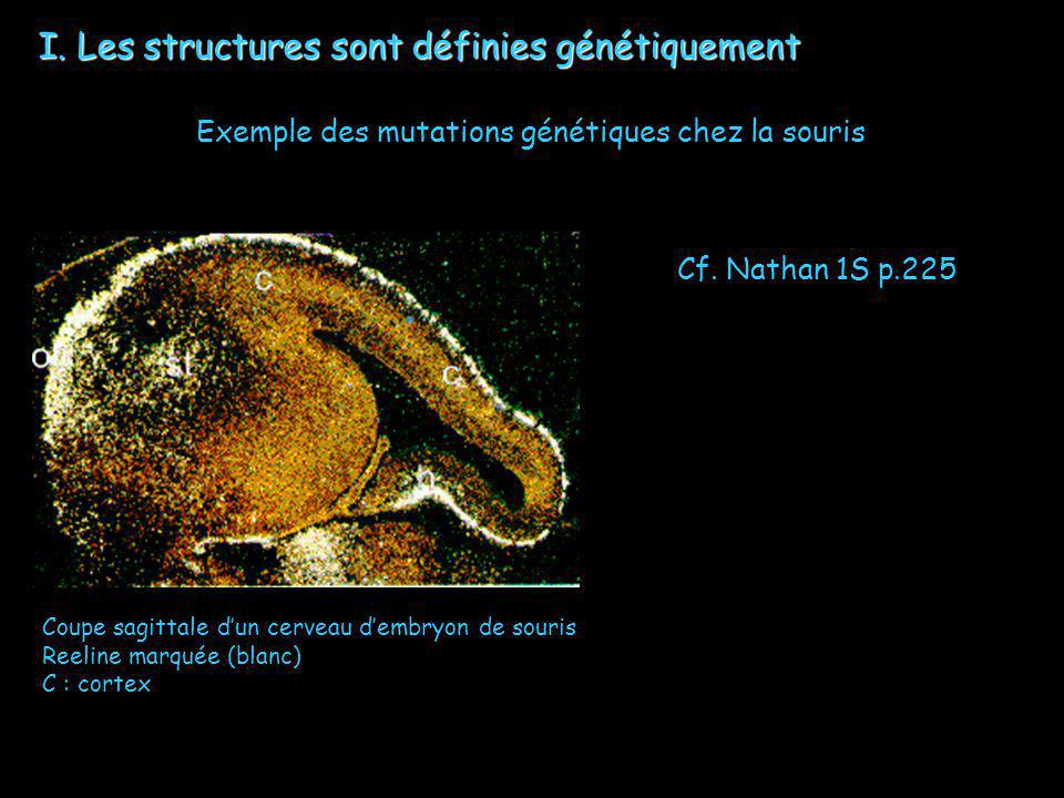 I. Les structures sont définies génétiquement Exemple des mutations génétiques chez la souris Coupe sagittale dun cerveau dembryon de souris Reeline m