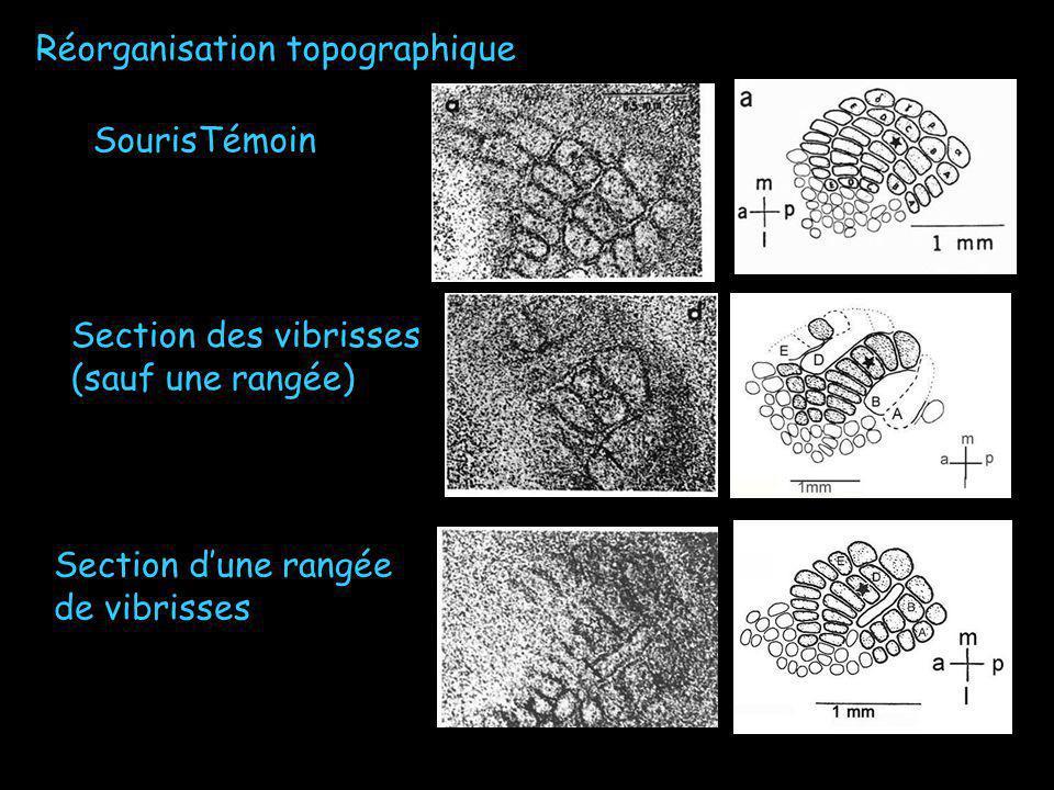 SourisTémoin Section des vibrisses (sauf une rangée) Section dune rangée de vibrisses Réorganisation topographique