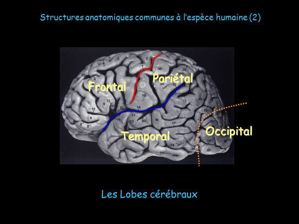 Les Lobes cérébraux Frontal Pariétal Temporal Occipital Structures anatomiques communes à lespèce humaine (2)