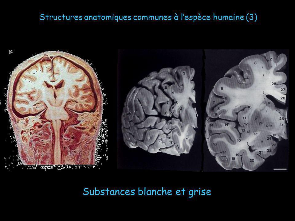 Substances blanche et grise Structures anatomiques communes à lespèce humaine (3)