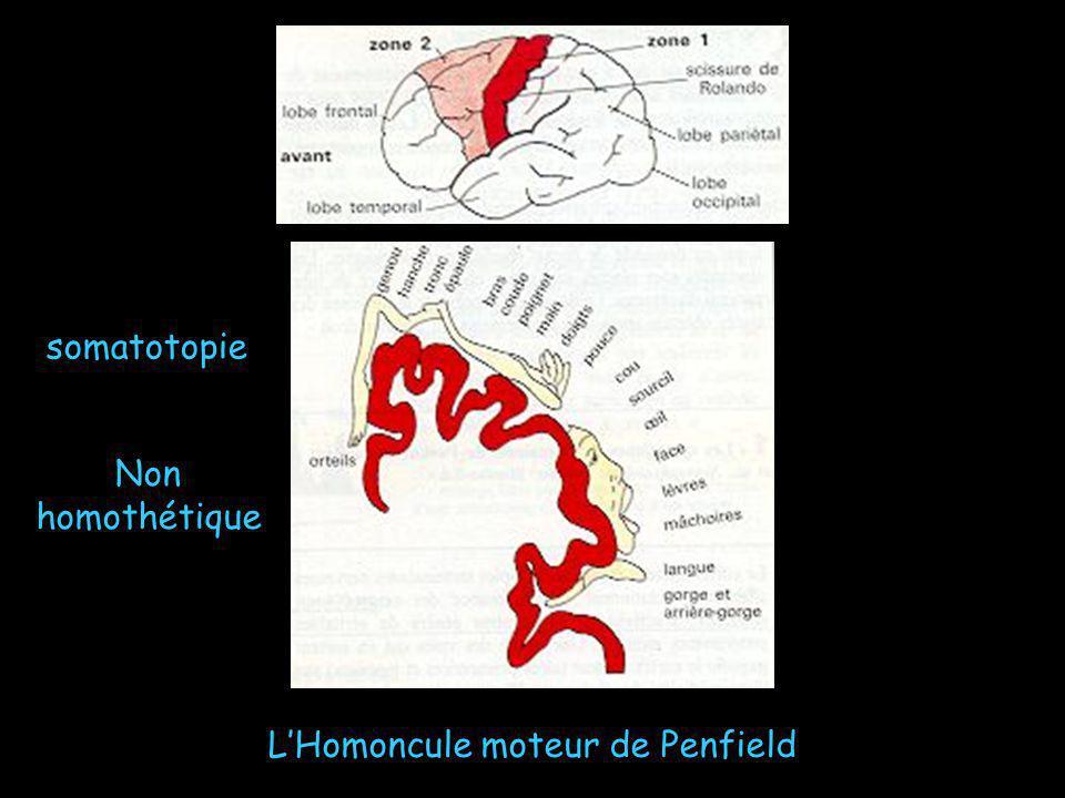LHomoncule moteur de Penfield somatotopie Non homothétique