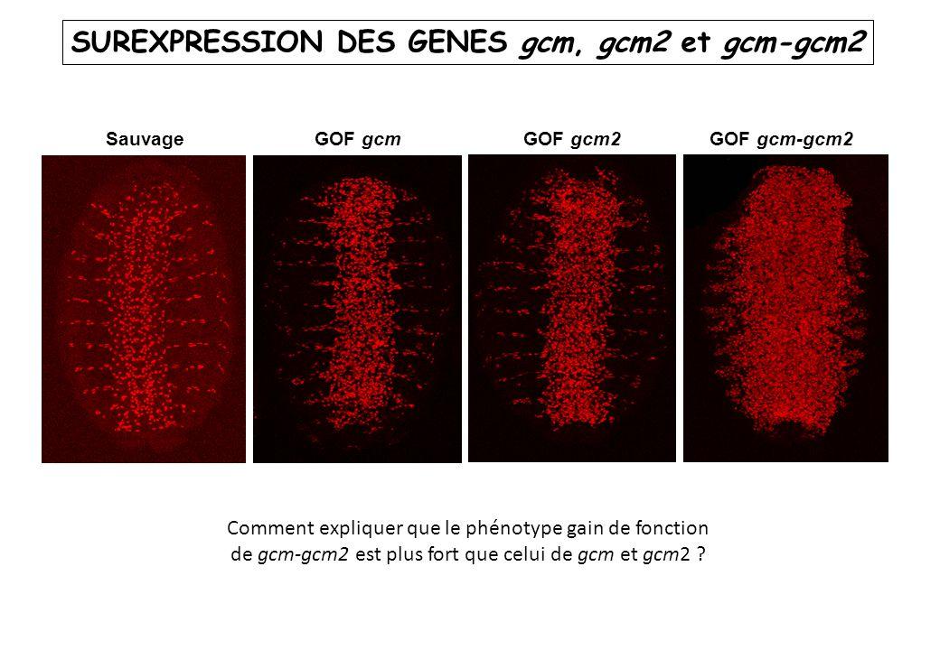 SauvageGOF gcmGOF gcm2GOF gcm-gcm2 SUREXPRESSION DES GENES gcm, gcm2 et gcm-gcm2 Comment expliquer que le phénotype gain de fonction de gcm-gcm2 est p
