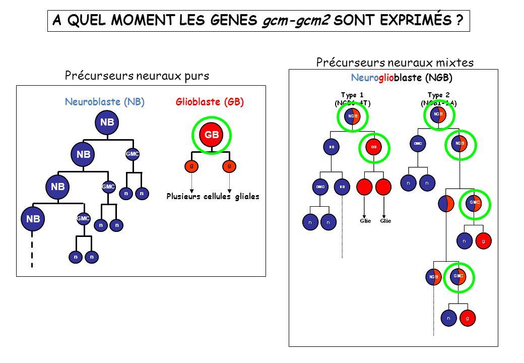 A QUEL MOMENT LES GENES gcm-gcm2 SONT EXPRIMÉS ? Neuroglioblaste (NGB) Neuroblaste (NB) nn nn GMC nn NB GMC NB Glioblaste (GB) Plusieurs cellules glia