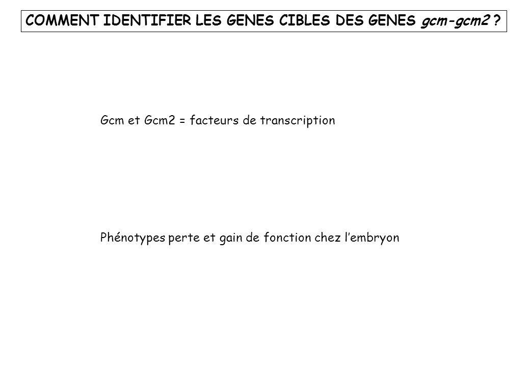 COMMENT IDENTIFIER LES GENES CIBLES DES GENES gcm-gcm2 ? Gcm et Gcm2 = facteurs de transcription Phénotypes perte et gain de fonction chez lembryon
