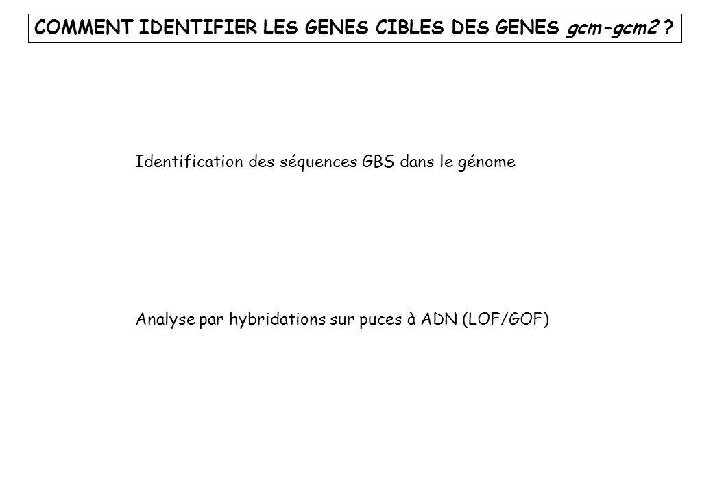 COMMENT IDENTIFIER LES GENES CIBLES DES GENES gcm-gcm2 ? Identification des séquences GBS dans le génome Analyse par hybridations sur puces à ADN (LOF