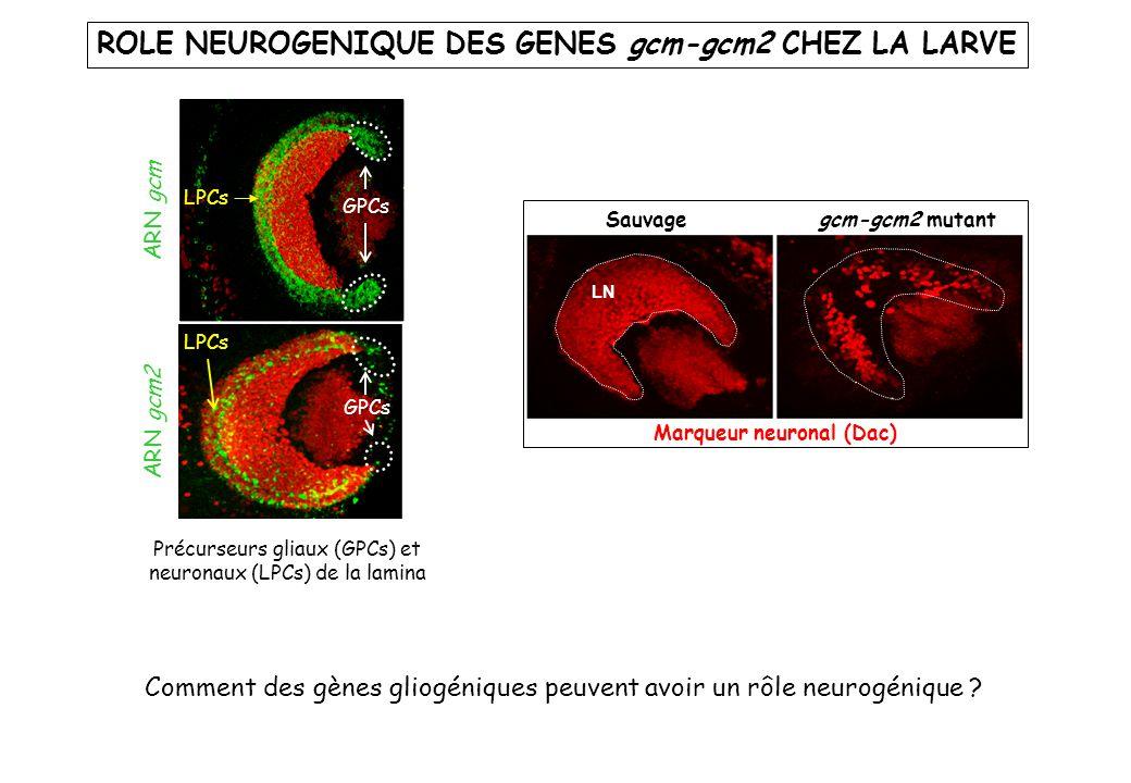 ROLE NEUROGENIQUE DES GENES gcm-gcm2 CHEZ LA LARVE Comment des gènes gliogéniques peuvent avoir un rôle neurogénique ? LN Sauvage gcm-gcm2 mutant Marq