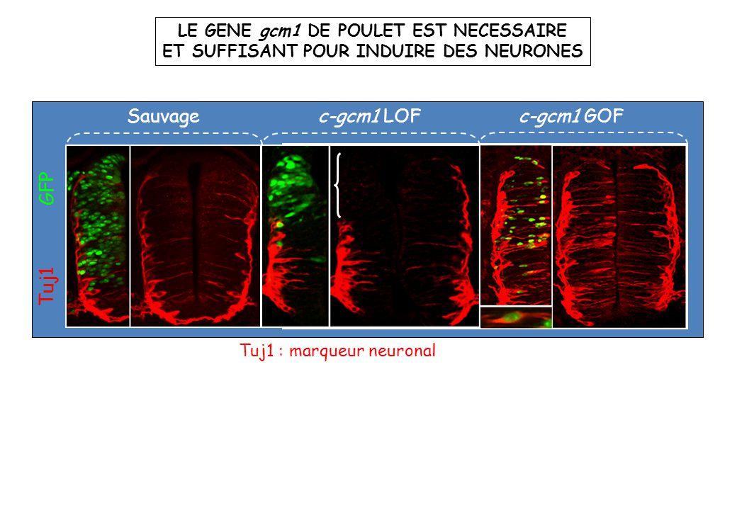 c-gcm1 LOF Tuj1 GFP Sauvage Tuj1 : marqueur neuronal c-gcm1 GOF LE GENE gcm1 DE POULET EST NECESSAIRE ET SUFFISANT POUR INDUIRE DES NEURONES