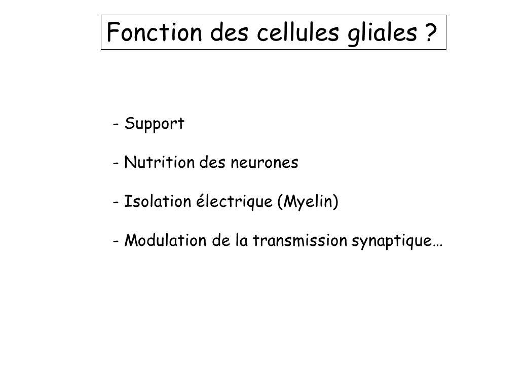 Fonction des cellules gliales ? - Support - Nutrition des neurones - Isolation électrique (Myelin) - Modulation de la transmission synaptique…