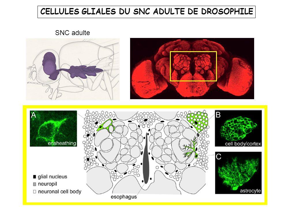 Neuroblaste (NB) nn nn GMC nn NB GMC NB Glioblaste (GB) Plusieurs cellules gliales g GB g Précurseurs neuraux purs DIFFERENTS LIGNAGES PRODUISENT DES CELLULES GLIALES