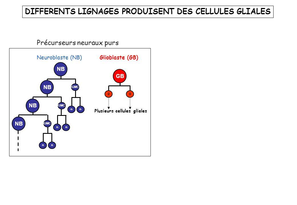 Neuroglioblaste (NGB) Neuroblaste (NB) nn nn GMC nn NB GMC NB Glioblaste (GB) Plusieurs cellules gliales g GB g Précurseurs neuraux purs Précurseurs neuraux mixtes DIFFERENTS LIGNAGES PRODUISENT DES CELLULES GLIALES