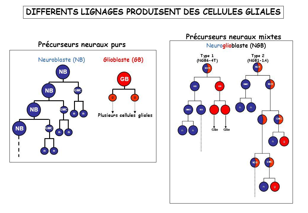 Neuroglioblaste (NGB) Neuroblaste (NB) nn nn GMC nn NB GMC NB Glioblaste (GB) Plusieurs cellules gliales g GB g Précurseurs neuraux purs Précurseurs n