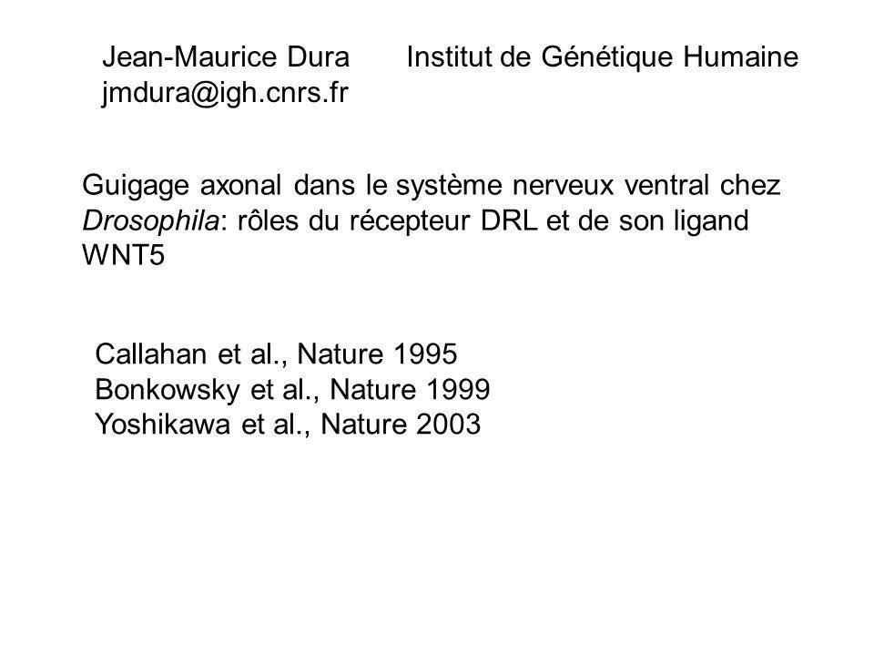 Guigage axonal dans le système nerveux ventral chez Drosophila: rôles du récepteur DRL et de son ligand WNT5 Jean-Maurice Dura Institut de Génétique Humaine jmdura@igh.cnrs.fr Callahan et al., Nature 1995 Bonkowsky et al., Nature 1999 Yoshikawa et al., Nature 2003