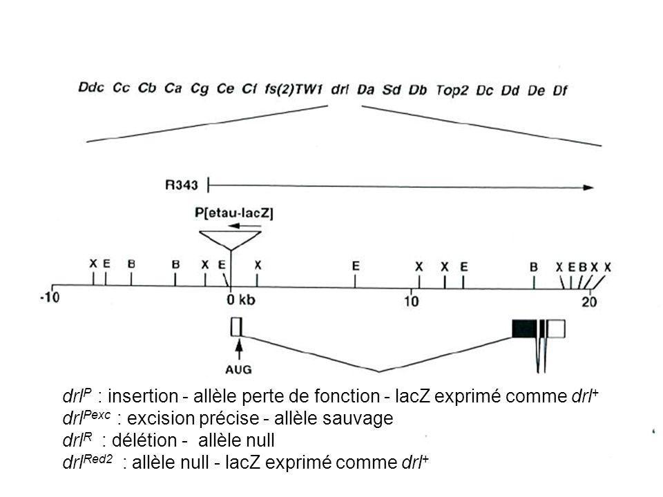 drl P : insertion - allèle perte de fonction - lacZ exprimé comme drl + drl Pexc : excision précise - allèle sauvage drl R : délétion - allèle null drl Red2 : allèle null - lacZ exprimé comme drl +