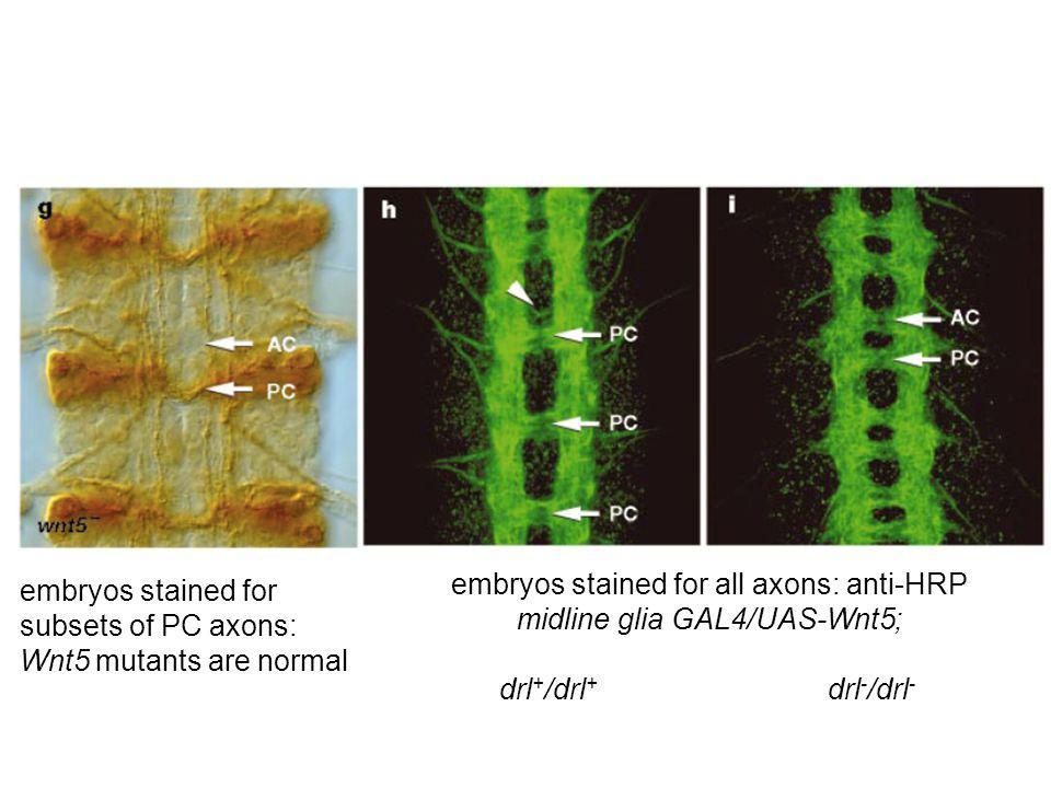 embryos stained for subsets of PC axons: Wnt5 mutants are normal embryos stained for all axons: anti-HRP midline glia GAL4/UAS-Wnt5; drl + /drl + drl - /drl -
