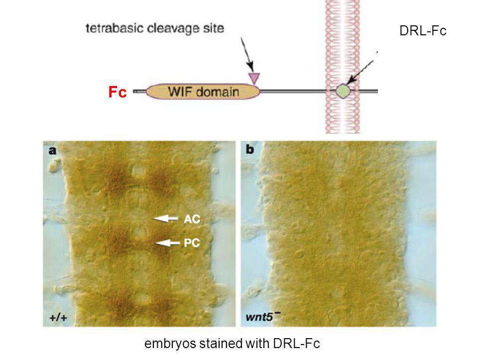 Fc embryos stained with DRL-Fc DRL-Fc