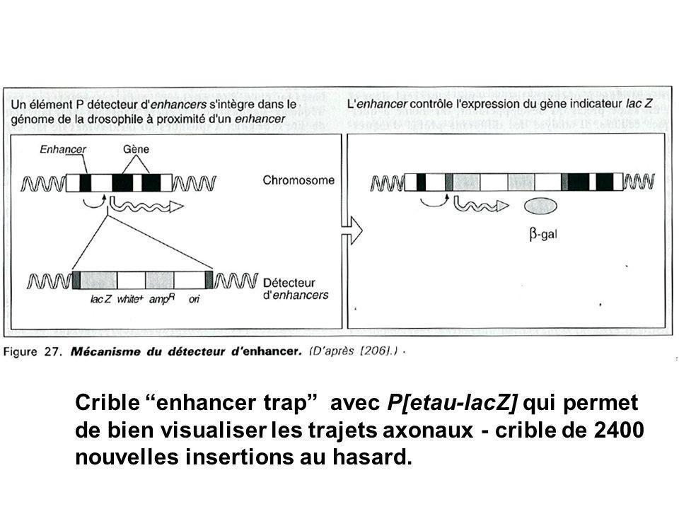 +/+ anti-HRP drl P[etau-lacZ] /+ anti- gal 200 interneurons / hemisegment 20 interneurons / hemisegment
