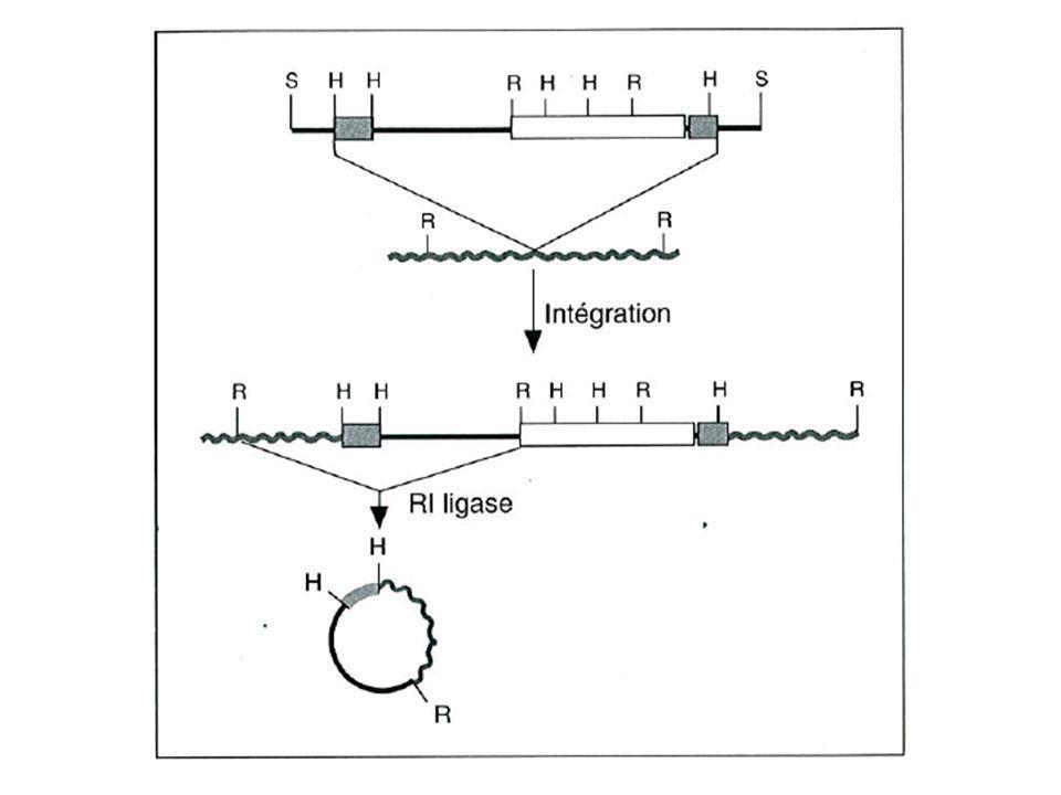 drl P : insertion - allèle perte de fonction - lacZ exprimé comme drl + drl Pexc : excision précise - allèle sauvage drl R : délétion - allèle null