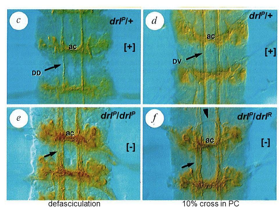 drl P /+ drl P /drl P drl P /drl R [+] [-] [+] [-] 10% cross in PCdefasciculation