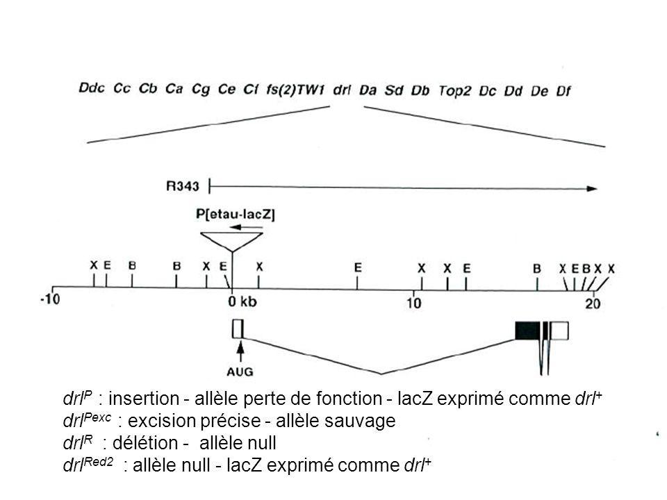 drl P : insertion - allèle perte de fonction - lacZ exprimé comme drl + drl Pexc : excision précise - allèle sauvage drl R : délétion - allèle null dr
