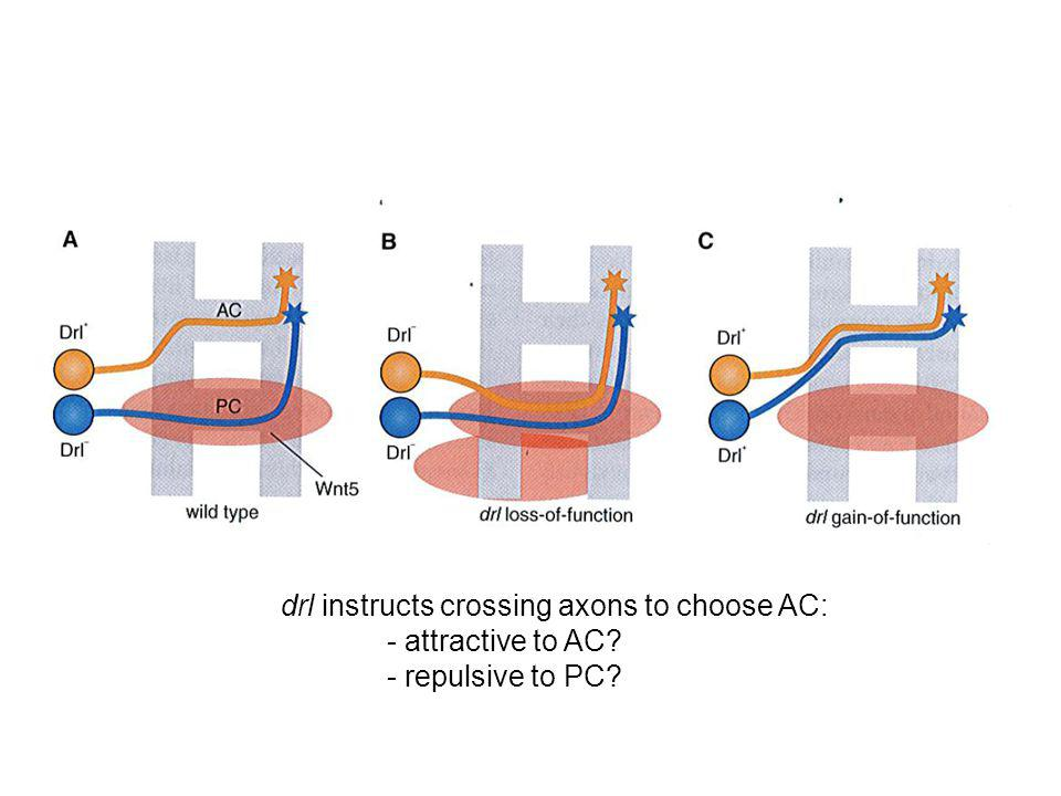 drl instructs crossing axons to choose AC: - attractive to AC? - repulsive to PC?