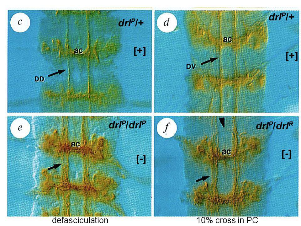 eagle-GAL4 + UAS-tau-lacZ +UAS-drl +UAS-drl E: cross in AC + PC cross only in AC cross in AC + PC
