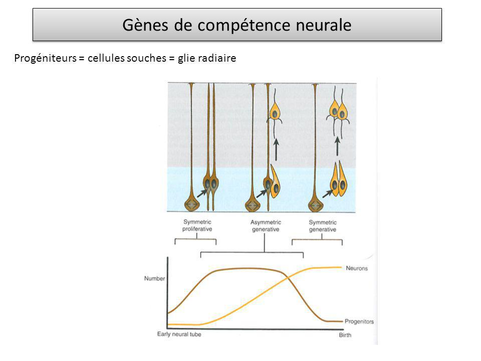 Gènes de compétence neurale Progéniteurs = cellules souches = glie radiaire