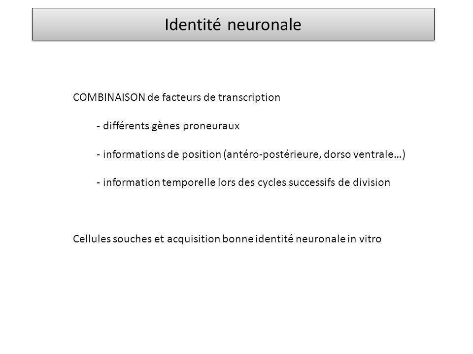 Identité neuronale COMBINAISON de facteurs de transcription - différents gènes proneuraux - informations de position (antéro-postérieure, dorso ventra
