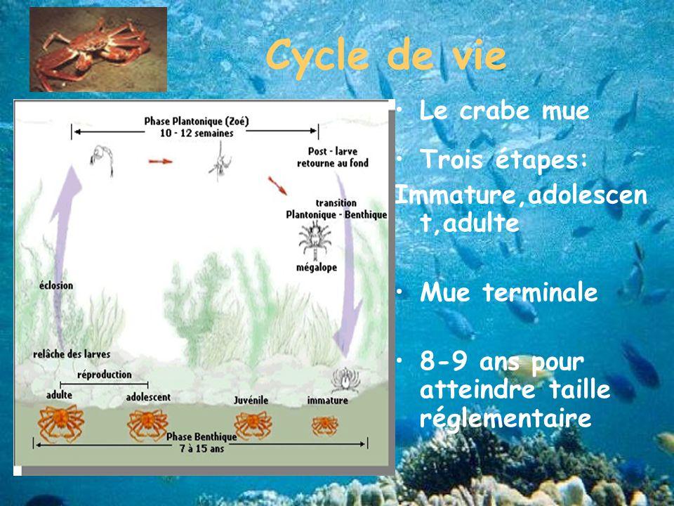 Cycle de vie Le crabe mue Trois étapes: Immature,adolescen t,adulte Mue terminale 8-9 ans pour atteindre taille réglementaire