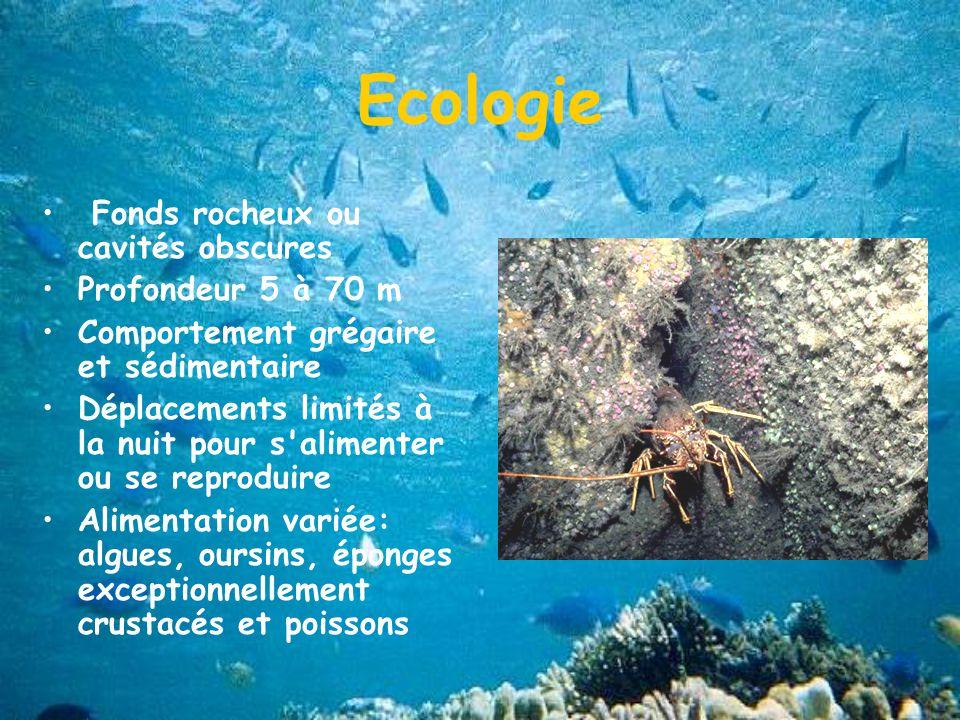 Ecologie Fonds rocheux ou cavités obscures Profondeur 5 à 70 m Comportement grégaire et sédimentaire Déplacements limités à la nuit pour s alimenter ou se reproduire Alimentation variée: algues, oursins, éponges exceptionnellement crustacés et poissons