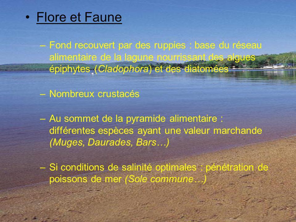 Flore et Faune –Fond recouvert par des ruppies : base du réseau alimentaire de la lagune nourrissant des algues épiphytes (Cladophora) et des diatomée