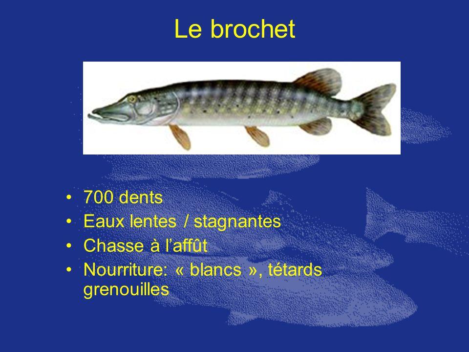 Le brochet 700 dents Eaux lentes / stagnantes Chasse à laffût Nourriture: « blancs », tétards grenouilles