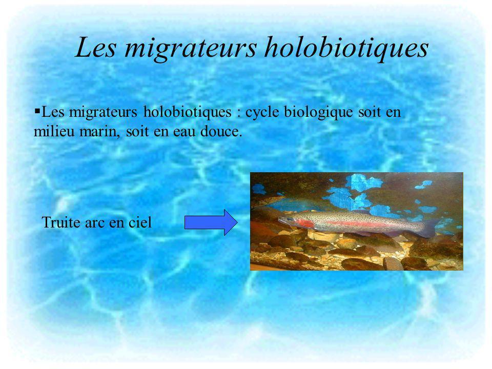 Les migrateurs holobiotiques Les migrateurs holobiotiques : cycle biologique soit en milieu marin, soit en eau douce. Truite arc en ciel