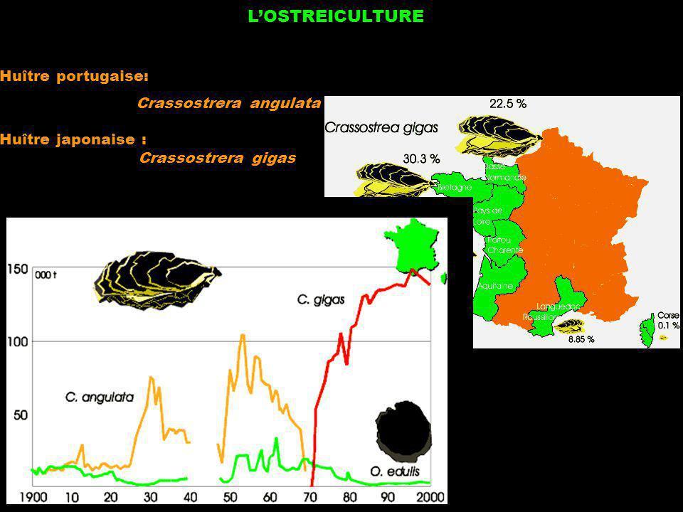 LOSTREICULTURE Huître portugaise: Crassostrera angulata Huître japonaise : Crassostrera gigas