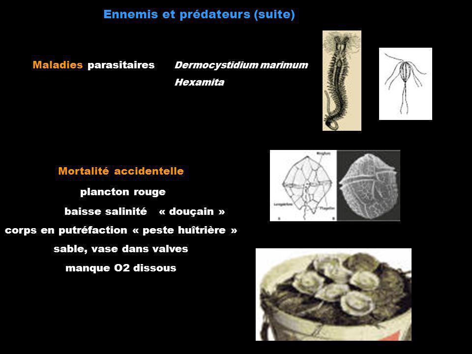 Ennemis et prédateurs (suite) Maladies parasitaires Dermocystidium marimum Hexamita Mortalité accidentelle plancton rouge baisse salinité « douçain »