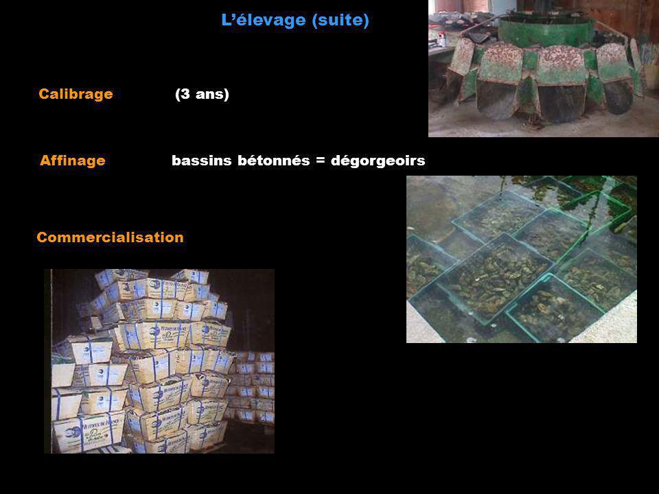Lélevage (suite) Calibrage (3 ans) Commercialisation Affinagebassins bétonnés = dégorgeoirs