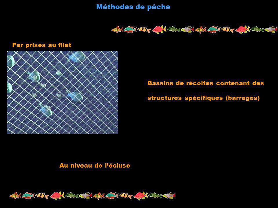 Méthodes de pêche Par prises au filet Au niveau de lécluse Bassins de récoltes contenant des structures spécifiques (barrages)